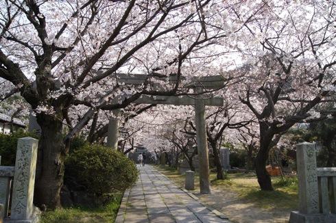 大崎下島 御手洗(広島)の天満神社の桜