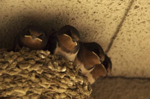 つばめの巣 画像