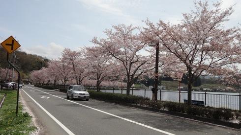 庄原市 上野公園の桜 画像7