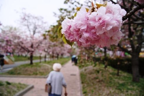 広島 造幣局の桜の通り抜け(花のまわりみち)2012 画像1