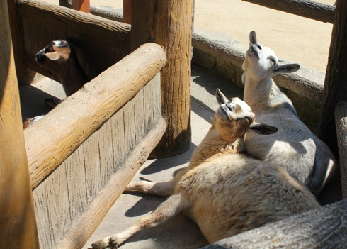 広島市安佐動物園 ヤギ画像2