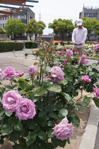 福山市 ばら公園の画像 10