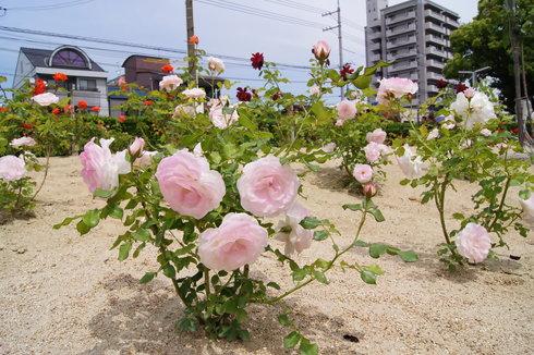 福山市 ばら公園の画像 11