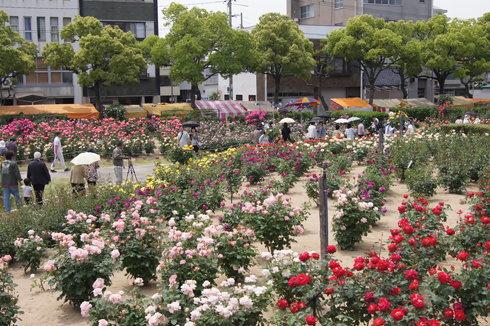 福山市 ばら公園、無料で立ち寄れるバラの花園