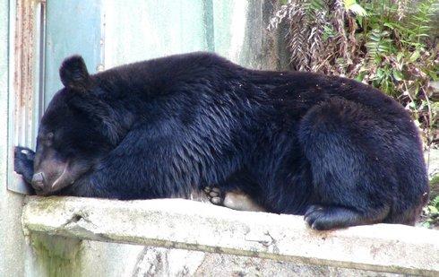 安佐動物園 カンフー熊のクラウド君 の画像
