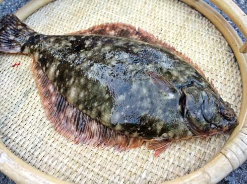 カレイは煮付けや刺身で!かくれんぼが得意で平らな高級魚