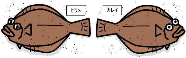 ヒラメとカレイの違い 右向き・左向き