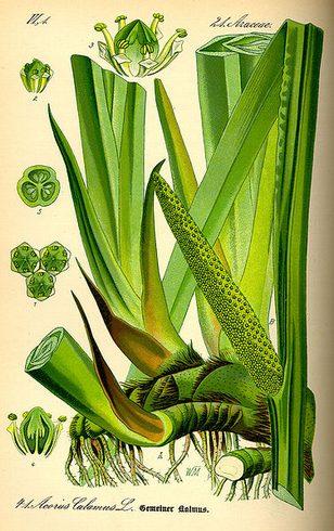 菖蒲(ショウブ)、薬草や漢方として使われる