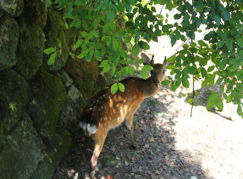 宮島 厳島神社裏の納涼スポットに鹿たちも