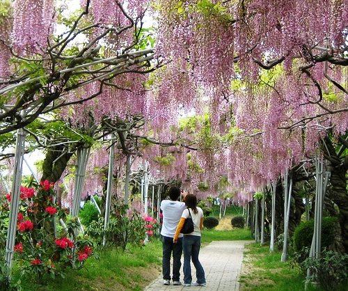 世羅 ふじ園 が満開!1200本以上の藤が見事、せらふじ園ではライトアップも