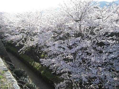 大竹市 亀居公園の桜が満開! 広島 いちばん端の隠れ名所 画像