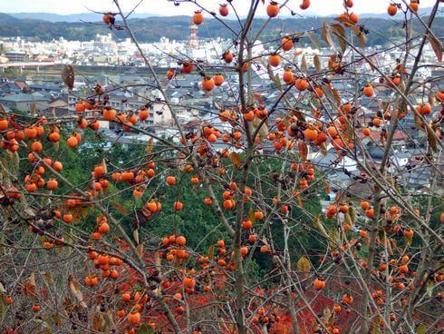 三次市 尾関山公園の頂上から柿