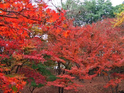 三次市 尾関山公園 真っ赤な紅葉
