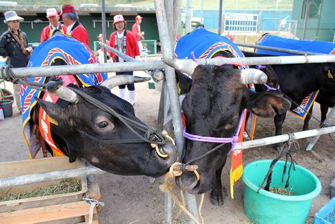庄原市口和 モーモー祭 牛同士のたわむれ
