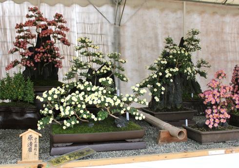 広島城 大菊花展の 盆栽菊