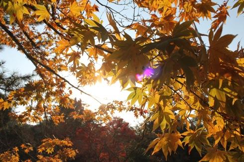 宮島 紅葉谷公園が紅葉ピーク、色彩豊かな景色