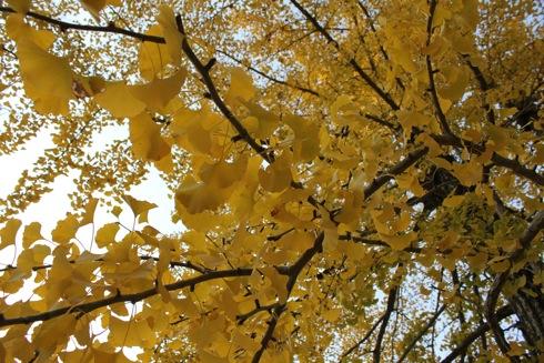 2012 宮島 大聖院のイチョウの樹