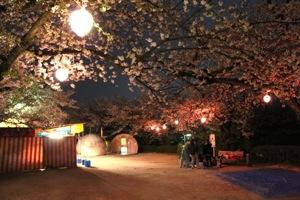 江波山公園 夜桜