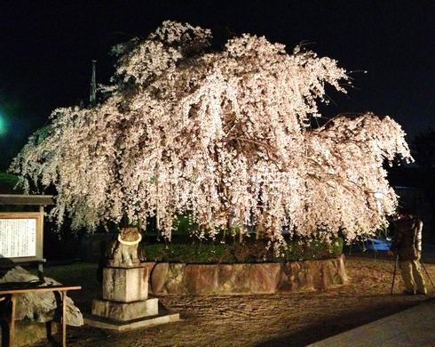 観音神社の枝垂桜、美しく満開に!夜桜ライトアップ中