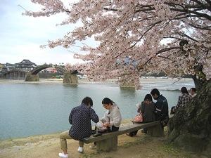 錦帯橋の桜 画像