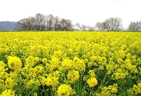 福山市で 菜の花まつり!箕沖埋立地 一面が黄色のじゅうたんに
