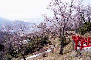 音戸の瀬戸公園 桜の画像