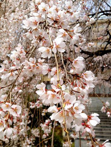曹洞宗八屋山普門寺の桜