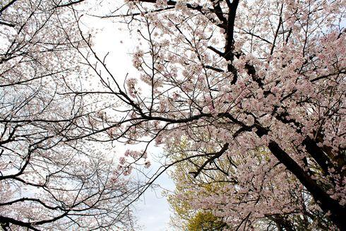 比治山公園の桜 満開の時