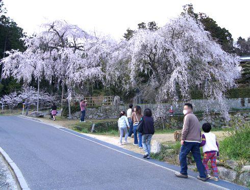神原のシダレザクラ、広島県の天然記念物 滝のように流れる美しい桜
