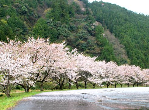 附地の川土手(安芸太田の桜) 画像3