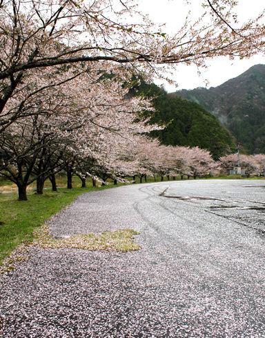附地の川土手(安芸太田の桜) 桜のじゅうたん