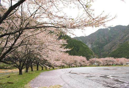 迫力!安芸太田町の50本桜並木 (附地の川土手)