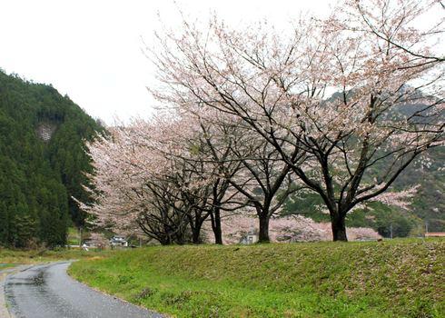 附地の川土手(安芸太田の桜) 画像5