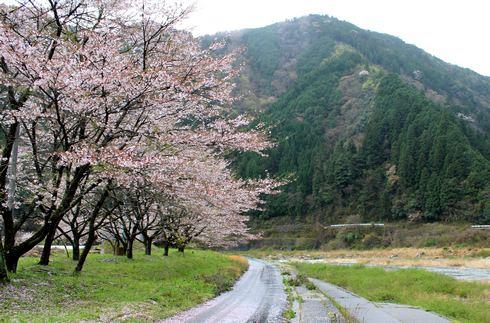 附地の川土手(安芸太田の桜) 画像2