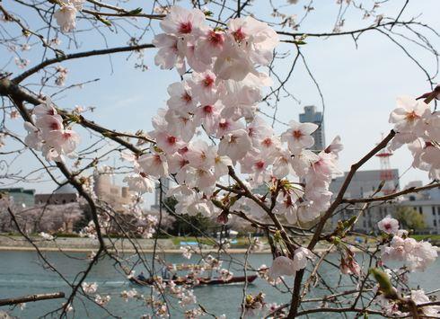 広島市 平和公園周辺の桜 画像