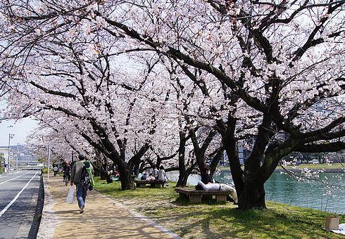 広島市 川沿いの桜 画像2