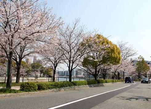 広島市 川沿いの桜 画像