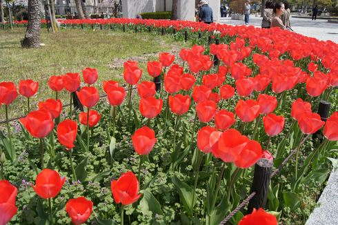広島市 平和公園のチューリップ