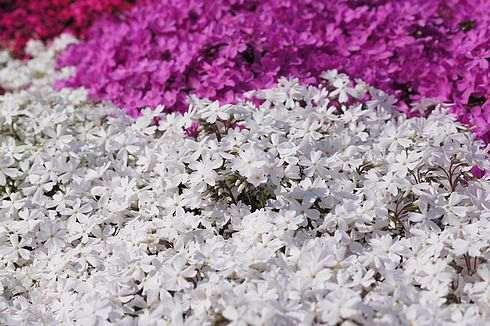北広島町本地の水田まわりに咲く芝桜の風景