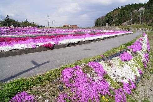 北広島町、水田の周りを敷き詰める芝桜は中国道からもハッキリ