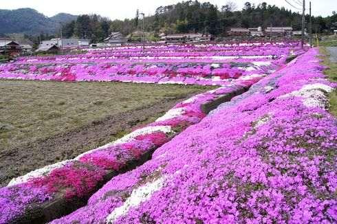 北広島町、水田の周りを敷き詰める芝桜は中国道からもハッキリと