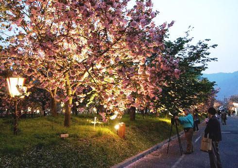 広島 造幣局桜の通り抜け2013、BGMバックに夜桜も