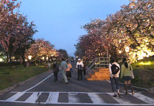 広島 造幣局桜の通り抜けライトアップ10