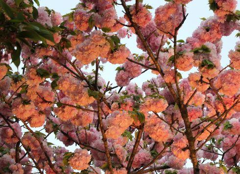 広島 造幣局花のまわりみちライトアップ2
