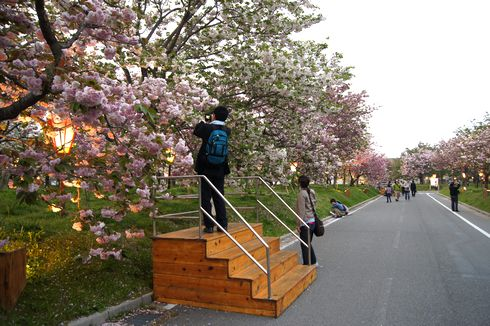 広島 造幣局桜の通り抜けライトアップ4