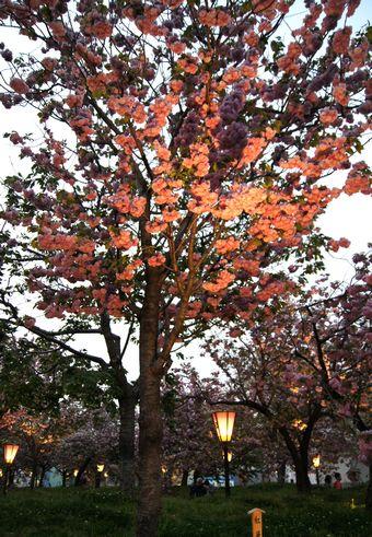 広島 造幣局桜の通り抜けライトアップ9