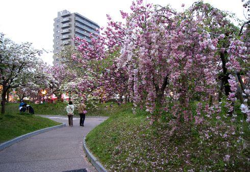 広島 造幣局桜の通り抜けライトアップ7