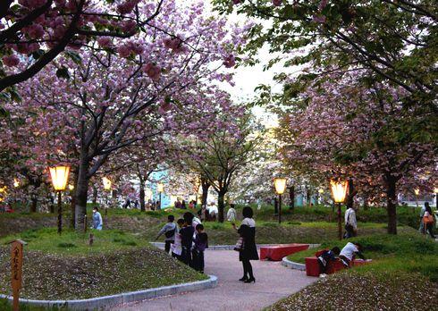 広島 造幣局花のまわりみちライトアップ3