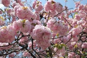 桜のまわりみち 造幣局広島
