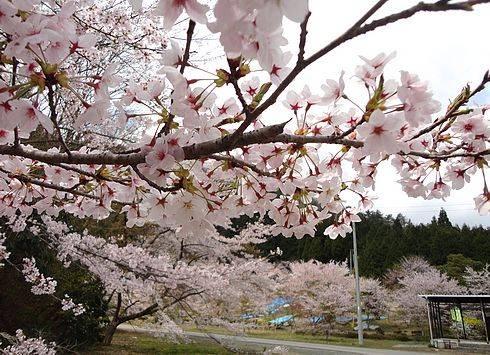 安芸太田町 メガソーラー発電所と桜2